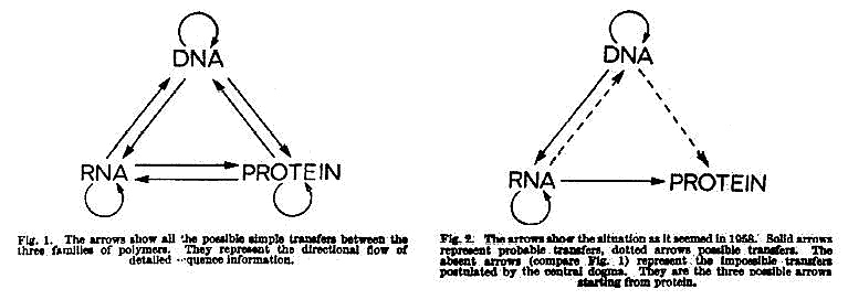 protein possibilities essay Without the cystic fibrosis variation of the cftr gene, the cftr proteins created by the gene act as a channel protein which can be found in the membranes of cells which line the passageways of organs such as the pancreas, lungs, and intestines.